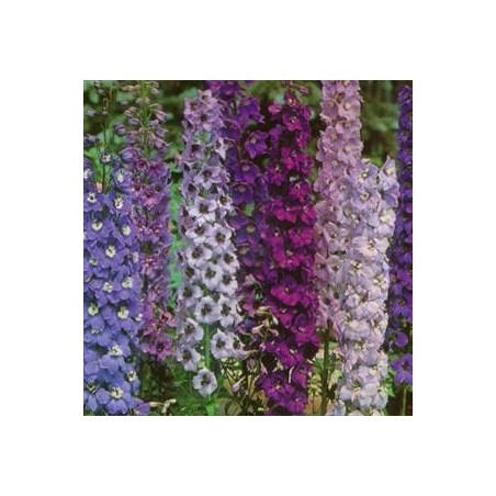 Delphinium x cultorum Magic Fountain G-9