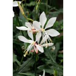 Seminte Gaura lindheimeri Sparkle White