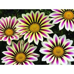 Seminte Gazania Big Kiss F1 White Flame