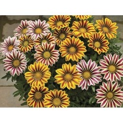 Seminte Gazania Big Kiss F1 mix