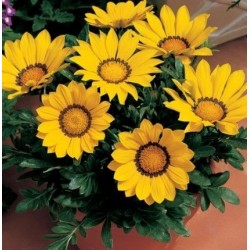 Seminte Gazania Big Kiss F1 Yellow