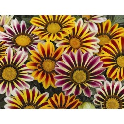 Seminte Gazania Frosty Kiss F1 Flame mix
