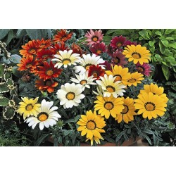 Seminte Gazania Frosty Kiss F1 mix