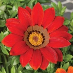 Seminte Gazania Frosty Kiss F1 Red