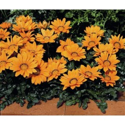 Seminte Gazania Kiss F1 Orange