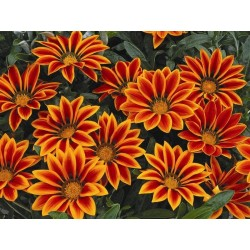 Seminte Gazania Kiss F1 Orange Flame