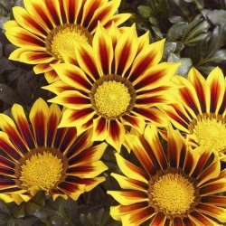 Seminte Gazania Kiss F1 Yellow Flame