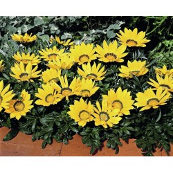 Seminte Gazania Kiss F1 Yellow
