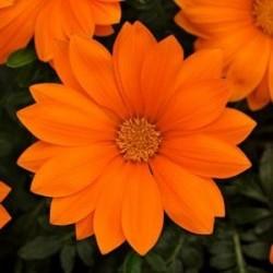 Seminte Gazania New Day F1 Clear Orange
