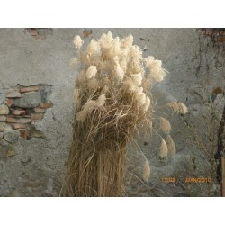 "Iarbă de Pampas ""cortaderia selloana white plume"""