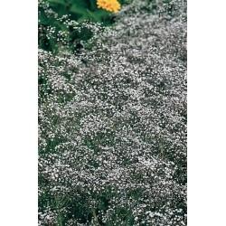 Seminte Gypsophyla paniculata Snowflake Double