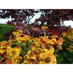 Seminte Helenium autumnale Western mix