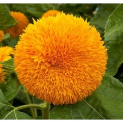 Seminte Helianthus Double Tall Sungold