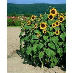 Seminte Helianthus Holiday Gold