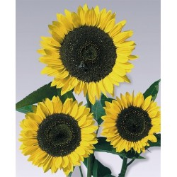Seminte Helianthus Cutting Gold