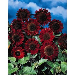 Seminte Helianthus Prado F1 Red