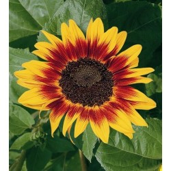 Seminte Helianthus Ring of Fire