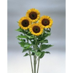 Seminte Helianthus Sunrich F1 Lemon