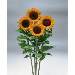 Seminte Helianthus Sunrich F1 Orange