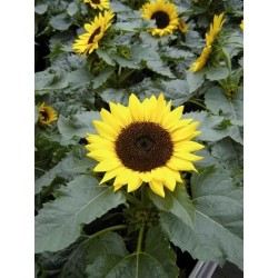 Seminte Helianthus Miss Sunshine F1