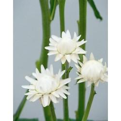 Seminte Helichrysum bracteatum Attraction White