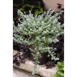 Seminte Helichrysum microphyllum Silver Mist