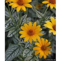 Seminte Heliopsis helianthoides Sunburst