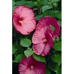 Seminte Hibiscus moscheutos Luna F1 Rose