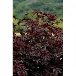 Seminte Hibiscus acetosella Mahogany Splendor