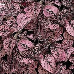 Seminte Hypoestes phyllostachya Pronto Pink