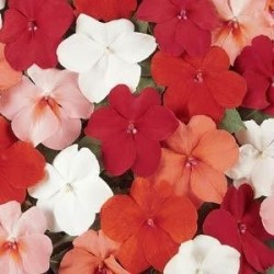 Seminte Impatiens walleriana Dezire F1 Select mix