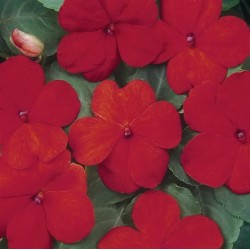 Seminte Impatiens walleriana Dezire F1 Deep Orange