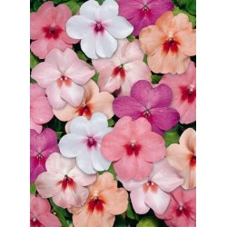 Seminte Impatiens walleriana Explore F1 Butterfly mix