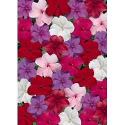 Seminte Impatiens walleriana Explore F1 Crystal mix