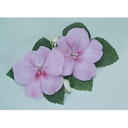Seminte Impatiens walleriana Explore F1 Blue Satin