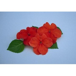 Seminte Impatiens walleriana Explore F1 Orange