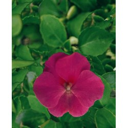 Seminte Impatiens walleriana Explore F1 Rose
