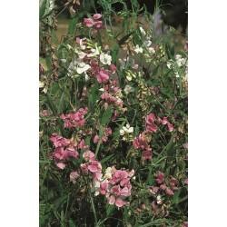 Seminte Lathyrus latifolius Pearl mix