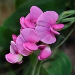 Seminte Lathyrus latifolius Pearl Pink