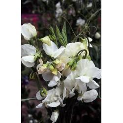 Seminte Lathyrus odoratus Mammoth White