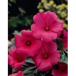 Seminte Lavatera trimestris Ruby Regis