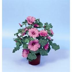 Seminte Lavatera trimestris Twins Hot Pink