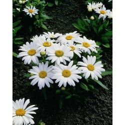 Seminte Leucanthemum maximum Snow Lady F1