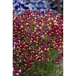 Seminte Linaria hybrida Enchantment F1
