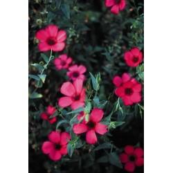 Seminte Linum grandiflora Rubrum