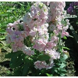 Seminte Matthiola incana Centum Pink