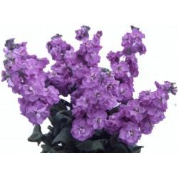 Seminte Matthiola incana Centum Lavender