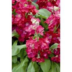 Seminte Matthiola incana Centum Red