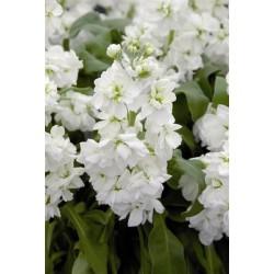 Seminte Matthiola incana Centum White