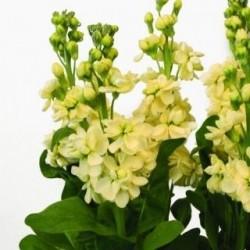 Seminte Matthiola incana Centum Yellow